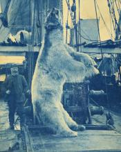 Dead polar bear on deck of ship