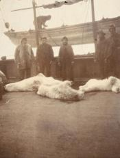 Seamen with dead polar bears
