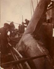 Group of seamen flensing a whale