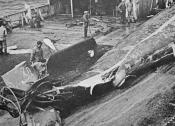 Captured whale being taken on board factory ship