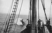 Photograph of whale chase taken from a whale catcher