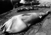 Photograph of a fin whale