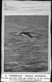 Photograph clipped from a magazine: 'Humpack whale sounding.'