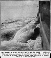 Photograph clipped from a magazine: 'Inflating a dead whale with air to keep it afloat.'