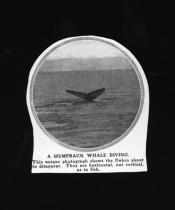 Photograph clipped from a magazine: 'A humpback whale diving'