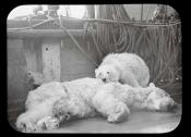 Dead polar bear and cub on the deck of a Dundee whaling ship