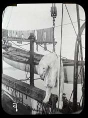 Polar bear being hoisted on to the deck of a Dundee whaling ship