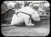 Polar bear on the deck of a Dundee whaling ship