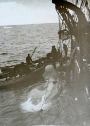 S.S. 'Eclipse.' Capt Milne. Blocks attached to whale prior to flensing.