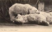 Polar bears - 'is mother dead?'