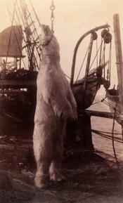 Polar bear on whaler