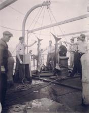 Photograph of small whales being weighed on an Antarctic whaling voyage