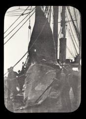 Tail of a whale being lowered onto the deck of a Dundee whaling ship