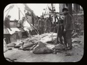 Skinning walrus on the deck of a Dundee whaling ship
