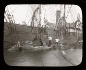 Whale moored alongside a Dundee whaling ship