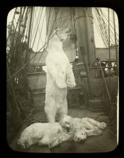 Dead polar bear and two cubs on deck of a whaling ship