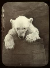 Polar bear cub in oil cask