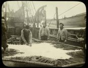 Polar bear skin being stretched and cleaned on deck of whaling ship