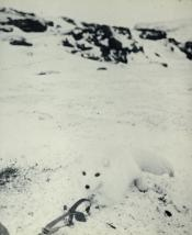Photograph of an Arctic fox in a gin trap