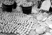 Collection of eider duck eggs